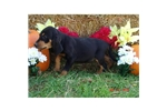 Picture of an American English Coonhound Puppy