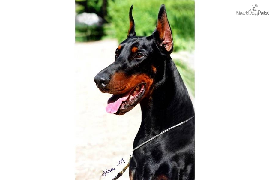 Doberman Pinscher Dogs For Sale In Alabama