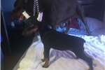 Picture of AKC PURE EURO vWd CLEAR vet gen DNA