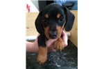 Picture of Black and tan Dachshund puppy