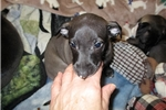 Picture of AKC Italian Greyhound