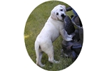 Picture of XTRA LARGE MAGNIFICENT AKC LABRADOR MALE PUP