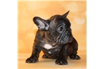 Picture of AKC Brindle French Bulldog