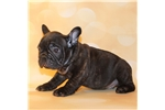Picture of AKC Light Brindle French Bulldog