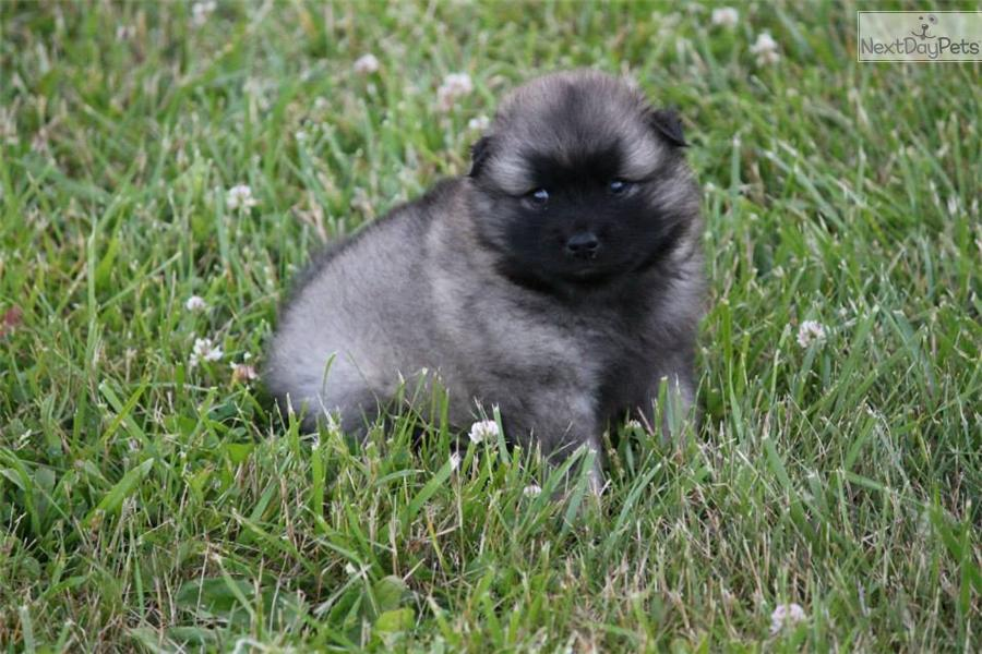 keeshond puppy for sale near scranton wilkes barre