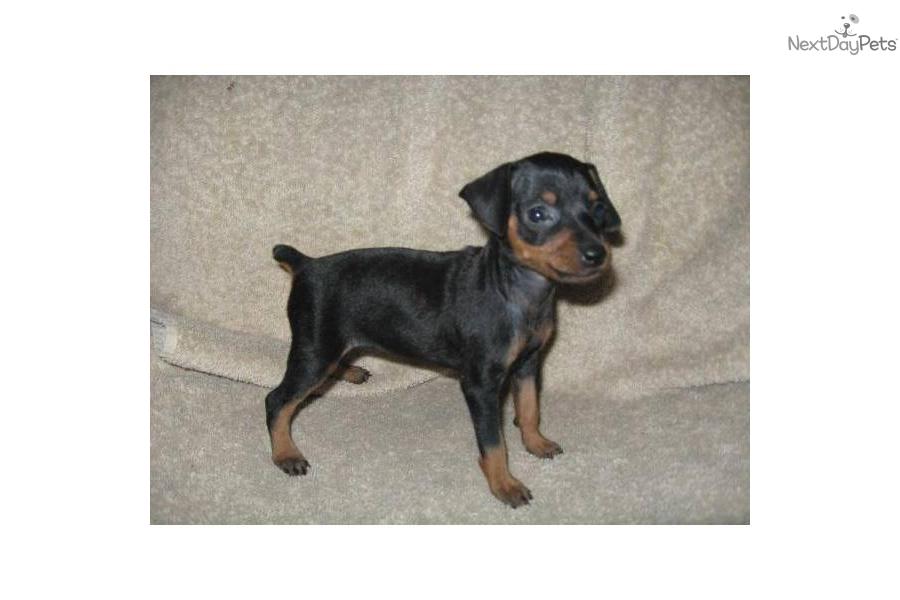 pin miniature pinscher pup - photo #42