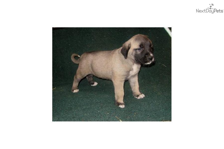 shepherd puppy for sale near lexington kentucky 70c8b6fa