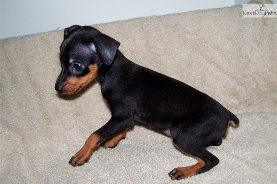 pin miniature pinscher pup - photo #45