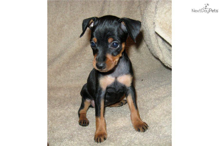 pin miniature pinscher pup - photo #10