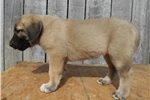 Picture of Anatolian Shepherd from working parents