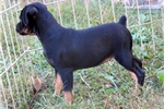 Carlin Pinscher for sale