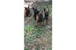 Picture of Belgian Malinois puppies for sale