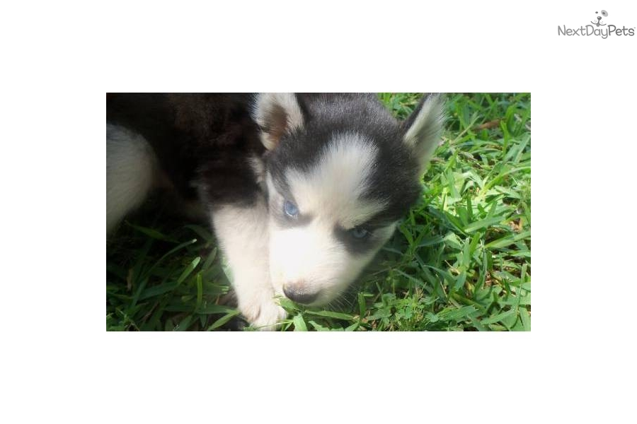 Image Result For Full Blooded Siberian Husky Price