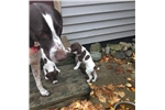 Picture of GSP Puppy - Male Fred