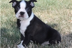 Picture of Boston Terrier Male #1