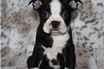 Picture of Boston Terrier Male #2