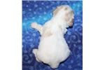 Picture of Cavachon Male #3