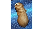 Picture of Cavalier King Charles Spaniel Male #3