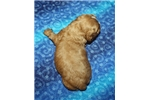 Picture of Cavalier King Charles Spaniel Male #2