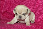 Picture of Puggle Female #4