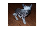 Picture of a Chinese Crested Puppy