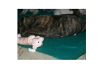 Picture of Brindle Female 1