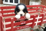 Bernese Mountain Dog for sale