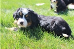 Picture of Ziggy - AKC Bernese Puppy