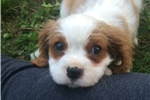 Picture of Molly - AKC Cavalier Spaniel Female