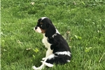 Picture of Riley - AKC Cavalier Spaniel Male