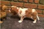 Picture of Rio - AKC Cavalier Spaniel Male