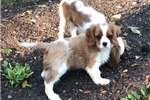 Picture of Rusty - AKC Cavalier Spaniel Male