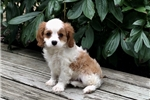 Cavalier King Charles Spaniel for sale