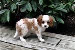 Picture of Muffin - AKC Cavalier Spaniel Male