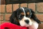 Picture of Sofie - AKC Cavalier Spaniel Female