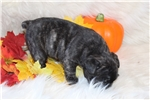 Picture of Alice is a Beautiful female French Bulldog
