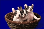 Picture of Unborn puppies just in time for Christmas