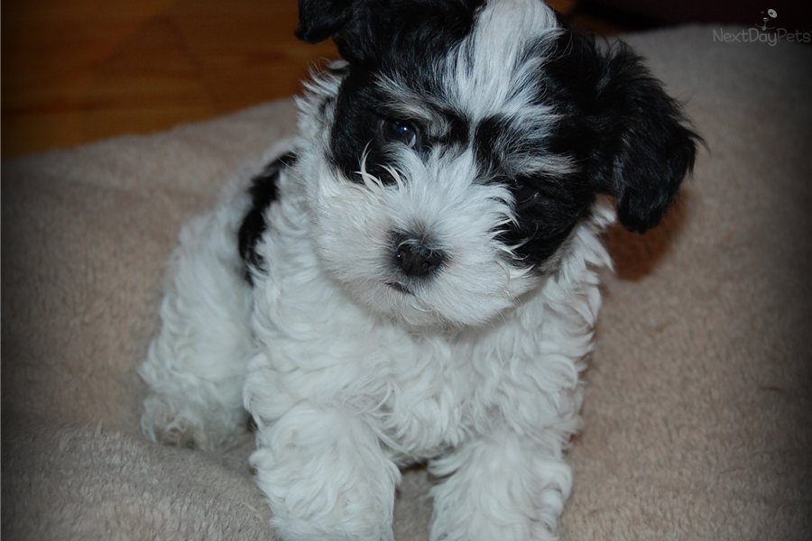havanese puppies for sale - photo #12