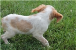 Picture of AKC Brittany female #4b