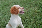 Picture of AKC Brittany female #2b