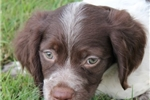 Picture of AKC Brittany female #5a