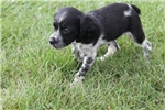 Picture of AKC Brittany female #3b