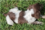 Picture of AKC Brittany female #1a