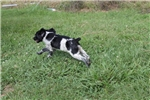 Picture of AKC Brittany female #1b