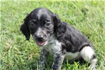 Picture of AKC Brittany male #7b