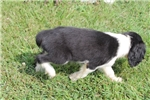 Picture of AKC English Springer male #4