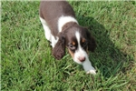 Picture of AKC English Springer Female7
