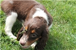 Picture of AKC English Springer Female 5