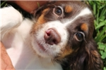 Picture of AKC English Springer Female #3