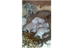 Picture of AKC Weimaraner Female #3 ready on 02.26.16